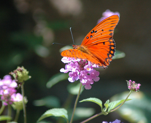 Butterfly Zorro Garden A Change From The Inexorable