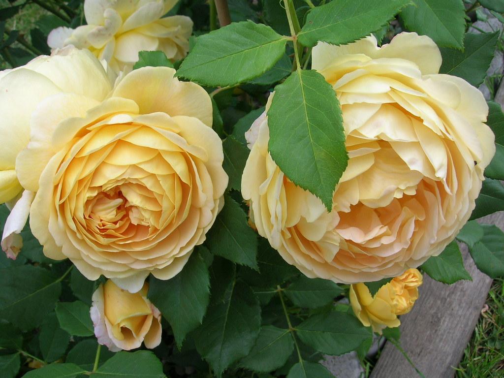 golden celebration rose marie th r se flickr. Black Bedroom Furniture Sets. Home Design Ideas