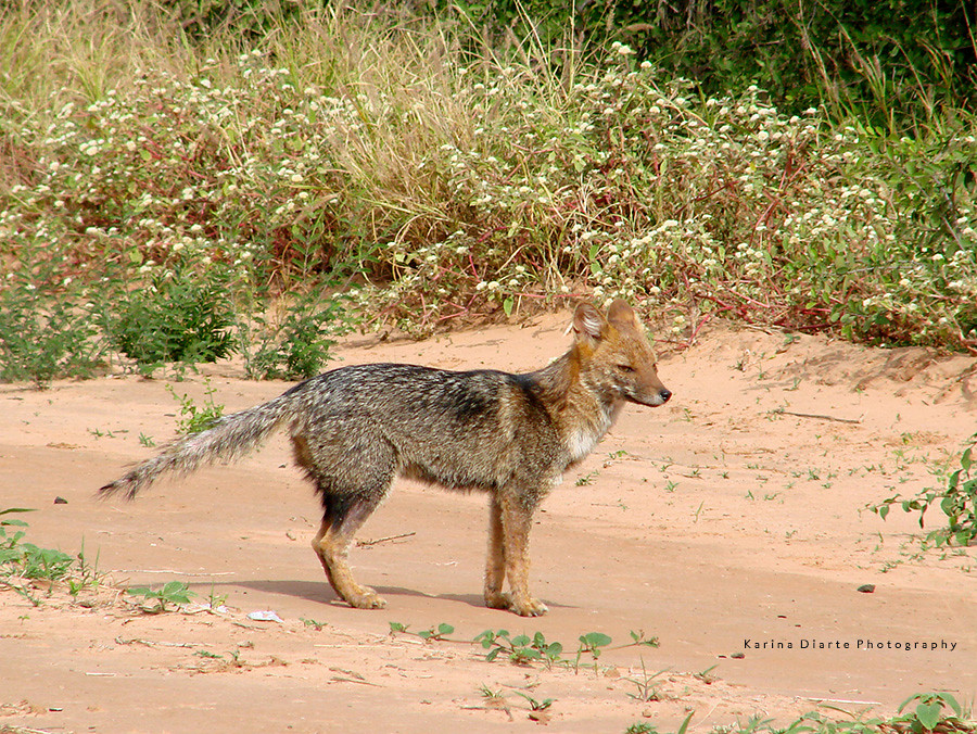 Zorro de Monte / Azara's Fox