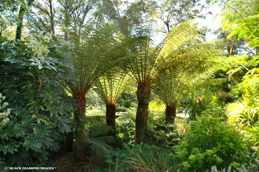 dicksonia antarctica soft tree fern man fern tasmanian flickr. Black Bedroom Furniture Sets. Home Design Ideas