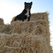 Queen of the haystack