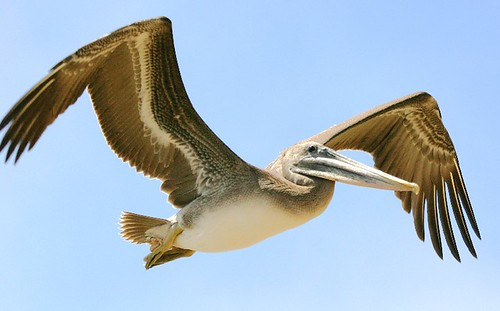 Brown Pelican, Adopted as the symbol for GNU PelicanHPC Linux - pelican_morro_rock_flap_up | by mikebaird