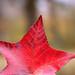 5 point leaf
