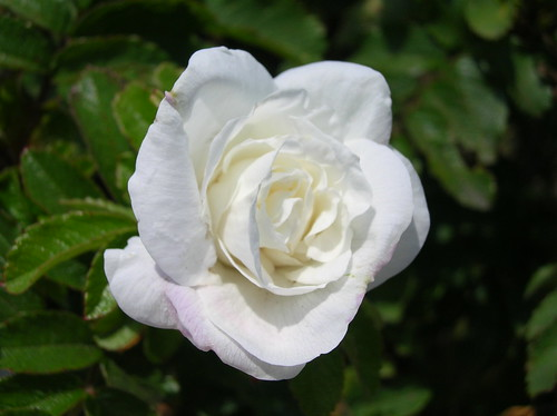 White Rose | by Debbie Whitehouse