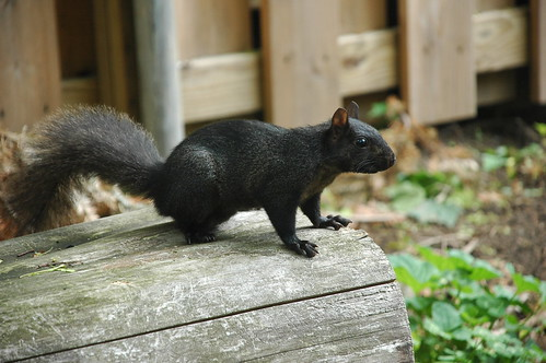 Black Squirrel | by Flatbush Gardener