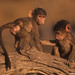 Baboon youngsters playing atop log