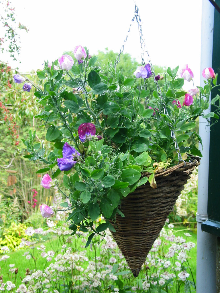 Hanging Basket Sweet Peas These Were An Experiment This