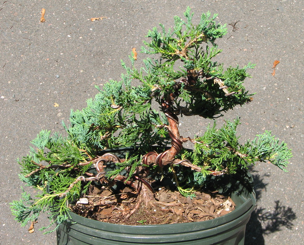 Blue Rug Juniper Bonsai Hottie Fuck