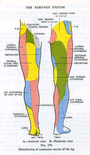 Leg nerves anatomy
