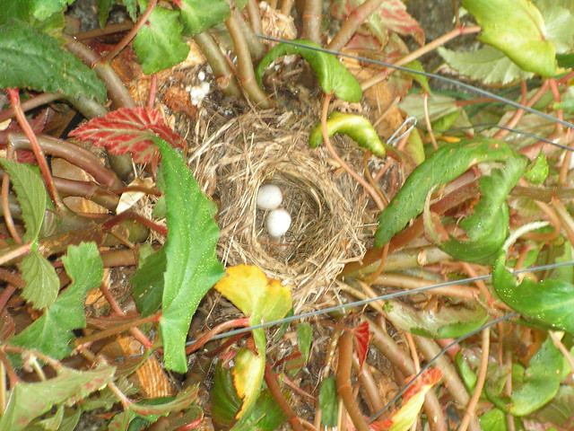 Hanging Flower Baskets Seattle : Bird nest in hanging basket of begonias seattle area