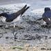 Huiszwaluwen in de modder
