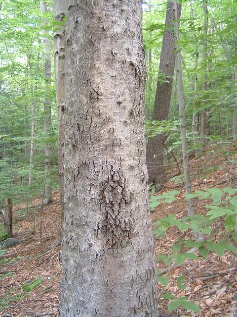 Beech bark scale disease flickr photo sharing