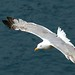 Seagull at Monaco