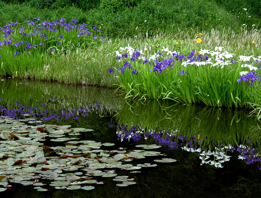 Iris Ensata Hana Shobu Japanese Iris Iris Ensata