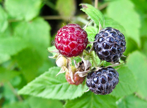black raspberries | by Kim | Affairs of Living