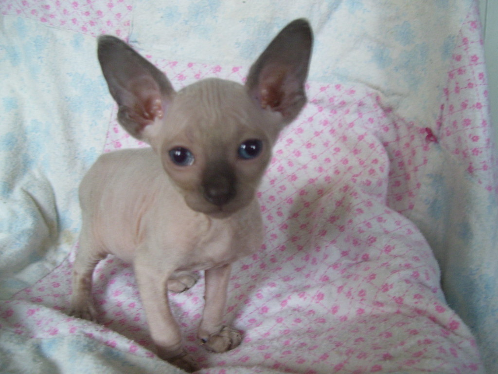 Sphinx Cat For Sale Near Me