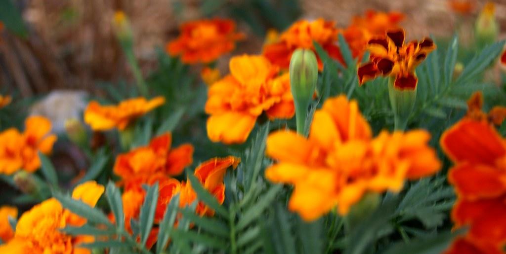 those orange flowers that start with m marigolds i just flickr. Black Bedroom Furniture Sets. Home Design Ideas