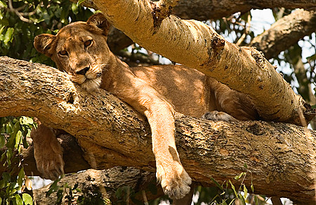 Uganda, Africa liontree_012.jpg   Africa Uganda Animals   Flickr