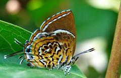 009. Monkey Puzzle Butterfly In My Butterfly Garden