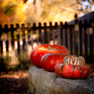 Pumpkins in a row | by d_russell