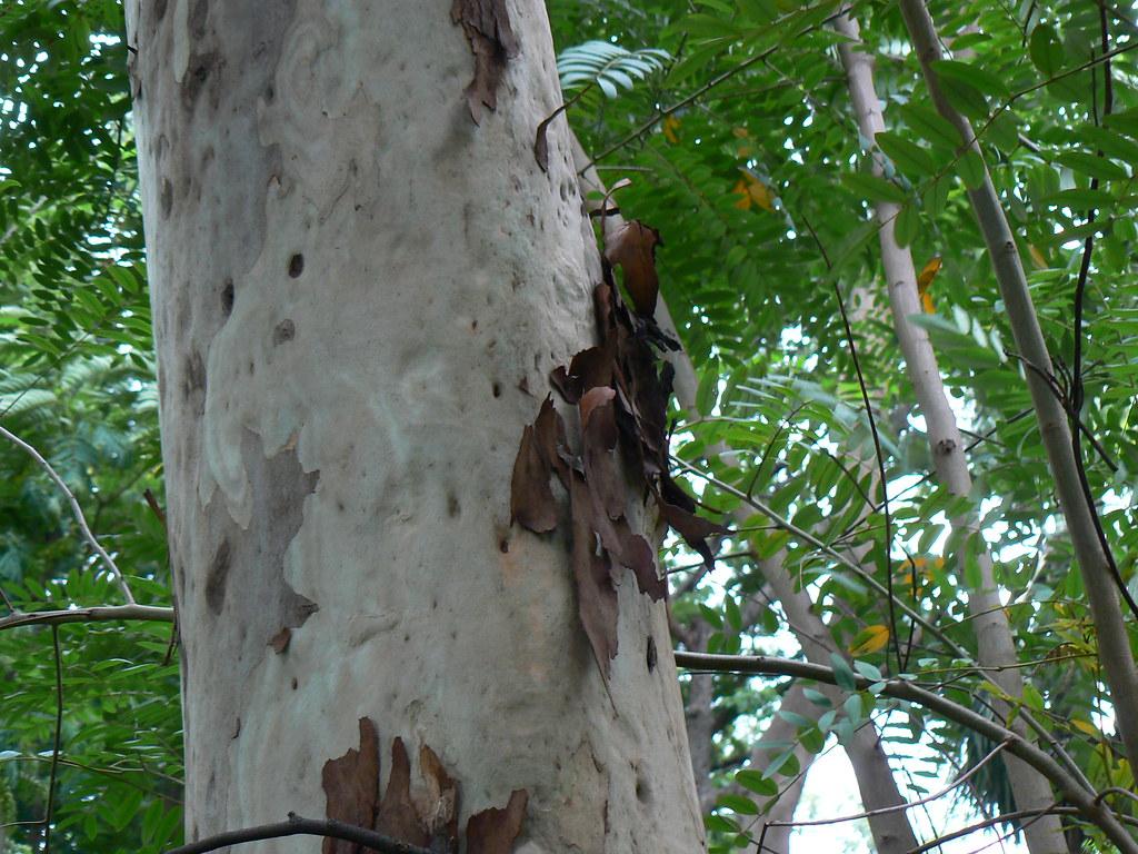 Nilgiri hindi marathi konkani myrtaceae What is the meaning of tree