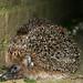 Hedgehog Couple