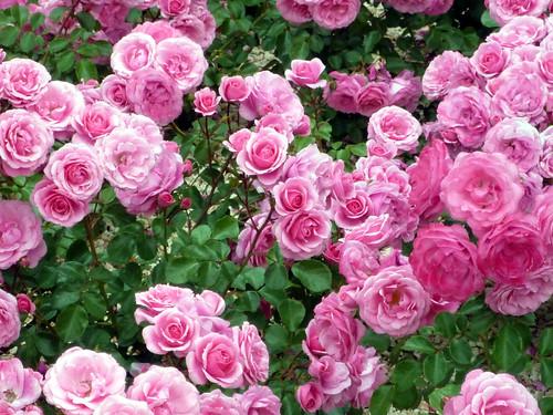 Viveros rosaleda rosas flickr photo sharing for Viveros en colima