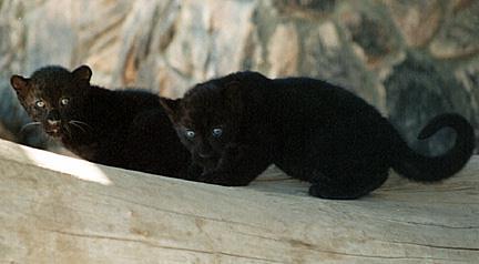 Black Panthera Cubs
