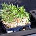 Rosemary smoke