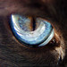 DSC09341 - Cat eye - blue - siamese