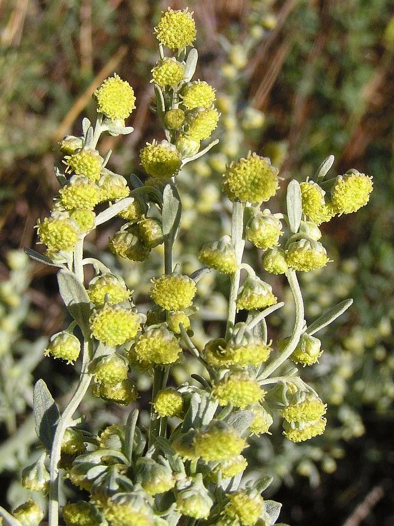 Artemisia Absinthium Wormwood: Artemisia Absinthium 'Absinthe, Wormwood'