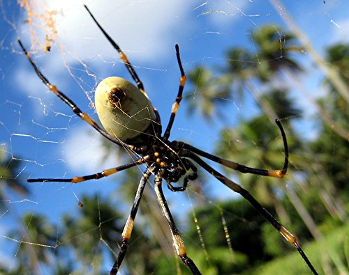 Tongan man eating spider (probably not technically man ...