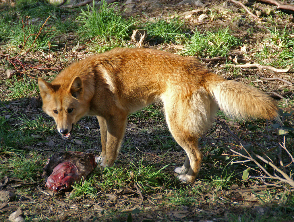an analysis of the animal dingo in the family of dogs The guardian - back to home make a contribution believes new evidence about the dangers of dingoes will help convince authorities that an animal did take and kill the child after entering a tent on the prosecutors suggesting she slit azaria's throat in the family car before burying.