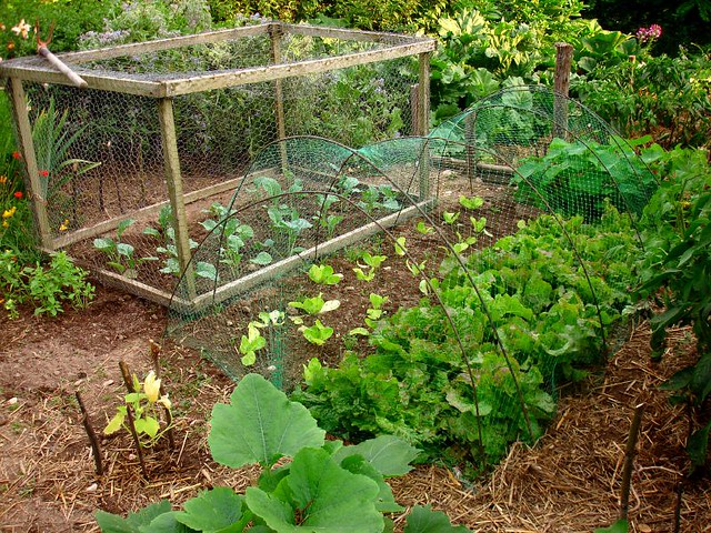 Lettuce more courgettes and romanesco we cover lettuces for Deco jardin potager