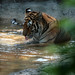 Tiger, cooling down...