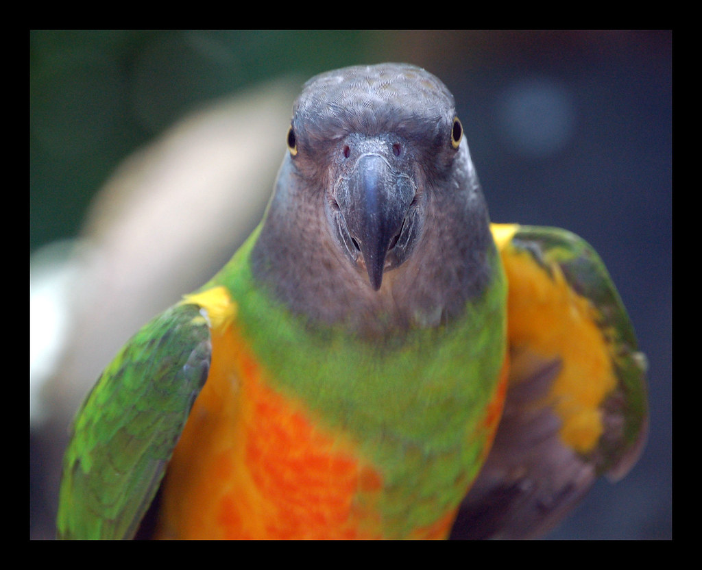 R G Parrott Ltd Senegal Parrot ...