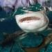 Lemon sharks