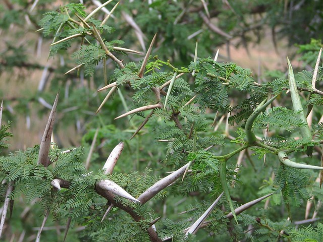 Amakhala Acacia Tree Thorns Flickr Photo Sharing