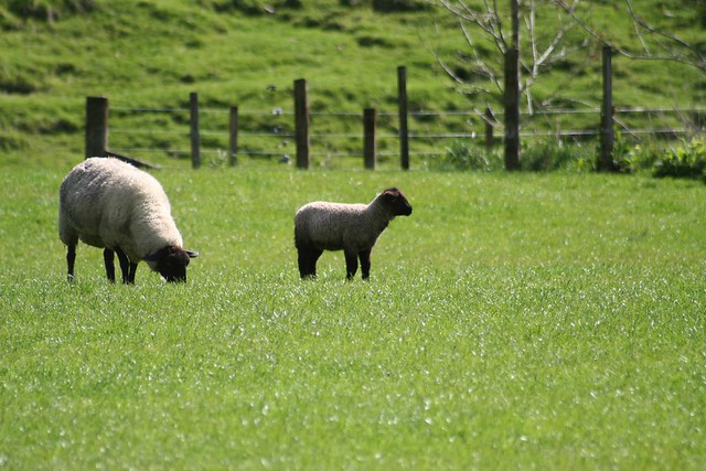 A Lamb with it's Mum