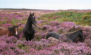 Horses in the Quantocks' Heather | by Films4Conservation