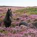 Horses in the Quantocks' Heather