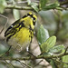 Townsend's Warbler (multiple views)