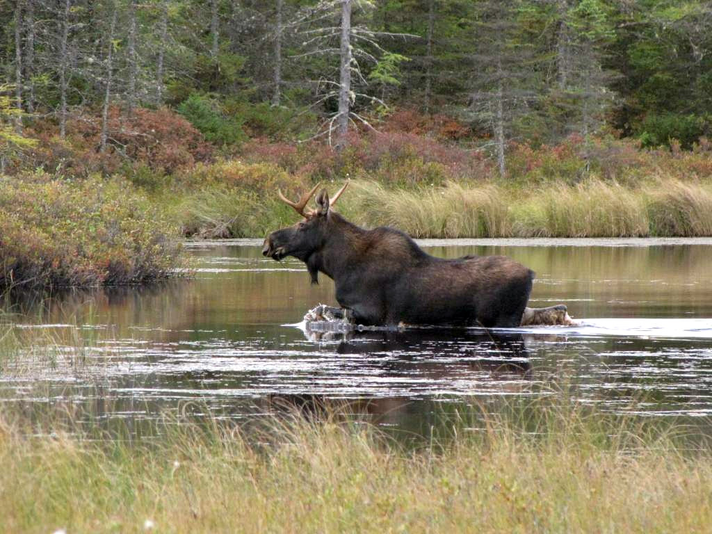Photo of the week moose at conte national fish and wildl for Vermont fish and wildlife jobs
