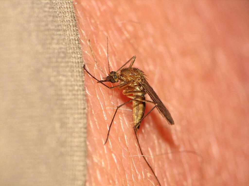 Aedes cinereus