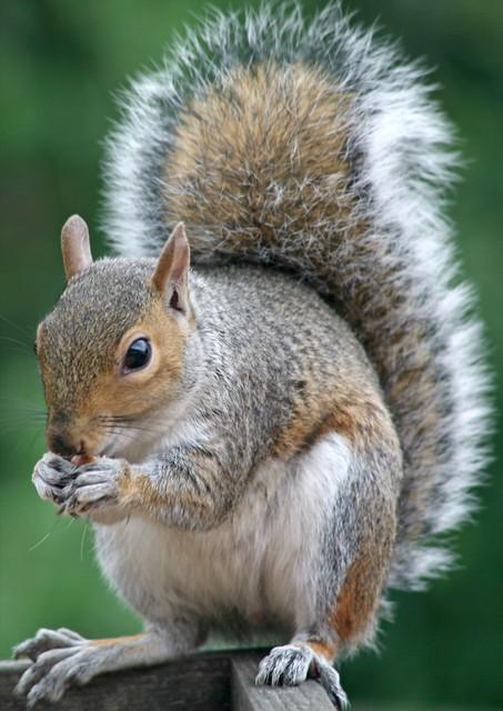 squirrel big tail