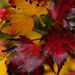 Fall Colors @ UW Arboretum