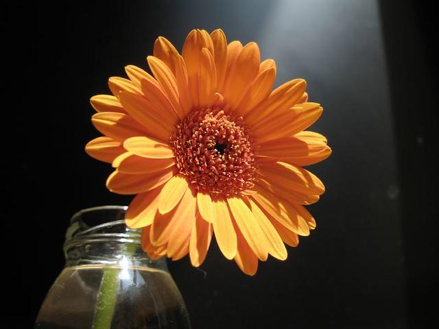 flor gerbera flor gerbera josangel temporal flickr