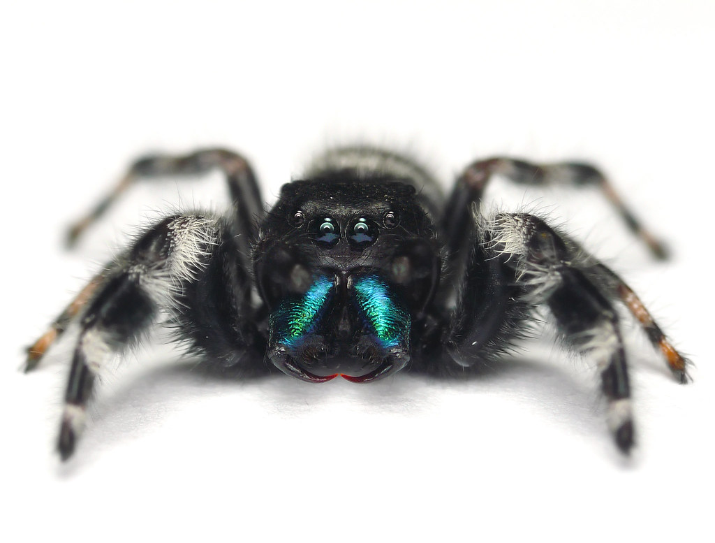 Black jumping spider with red dot - photo#34