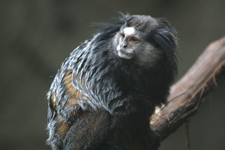 wied's marmoset | by grendelkhan