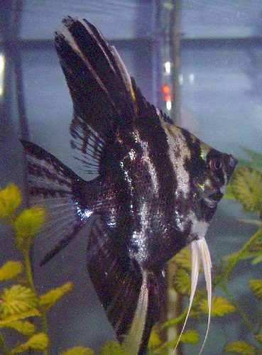 Black Marble Angelfish | Pterophyllum sp. | DianesDigitals ...